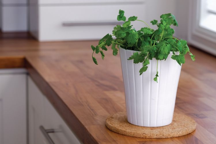 indian herbs kitchen-coriander or dhania