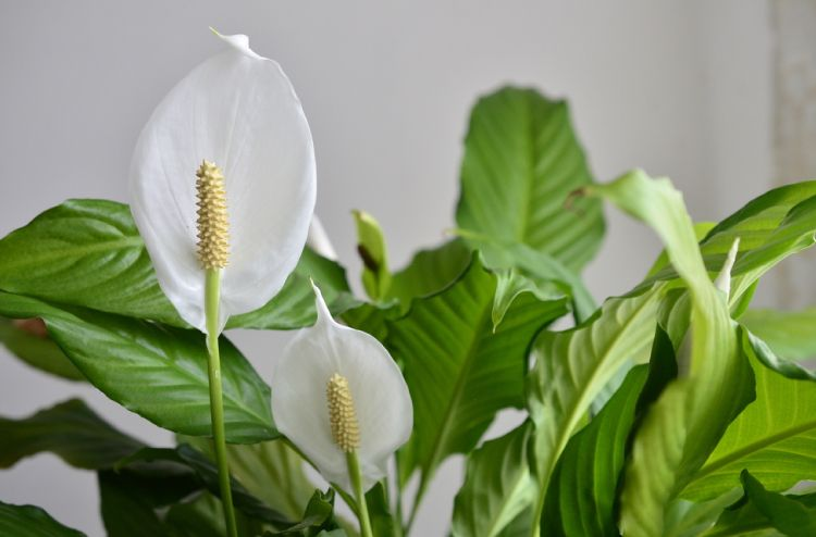 indoor plants for indian homes-peace lily plant
