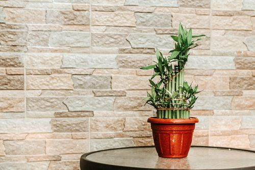 Vastu friendly plants_potted bamboo