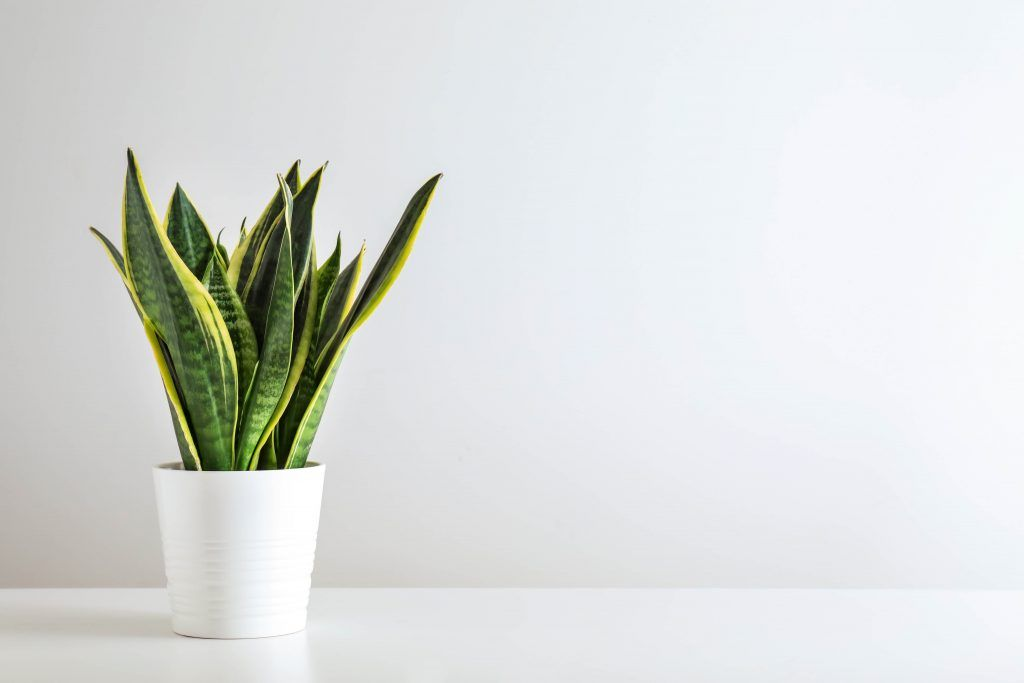 office plants-snake plant-dry air-low maintenance plant
