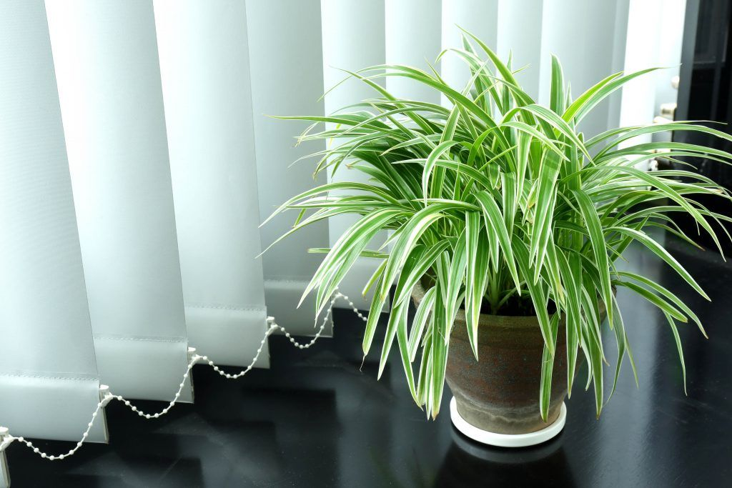 office plants-spider plant-long leaves-mood booster plant