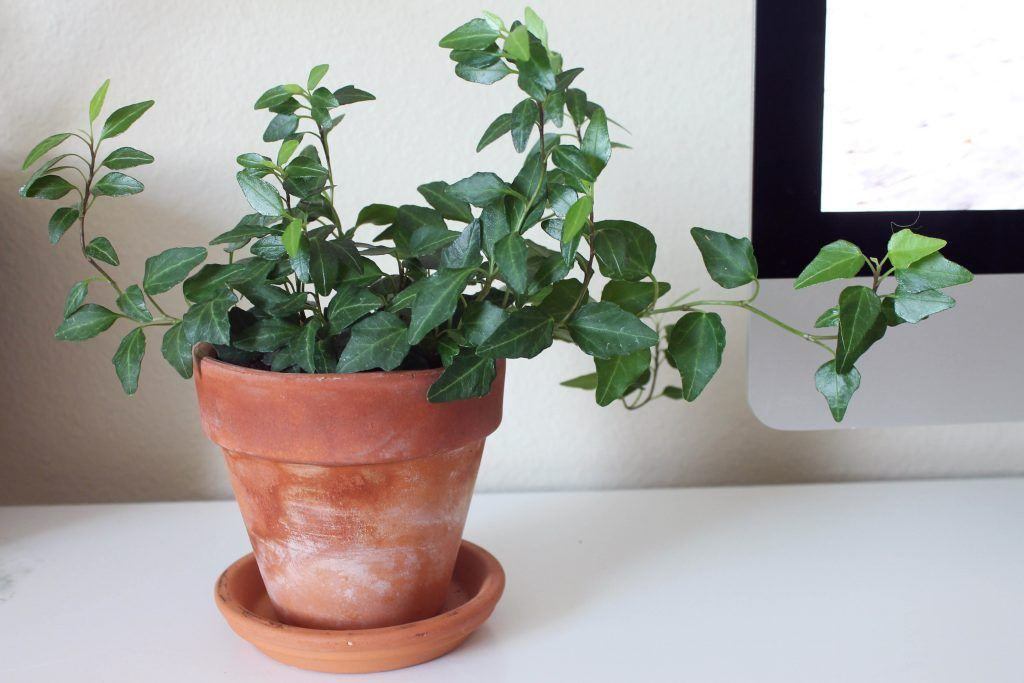 office plants-english ivy-pretty leaves-dark green plant