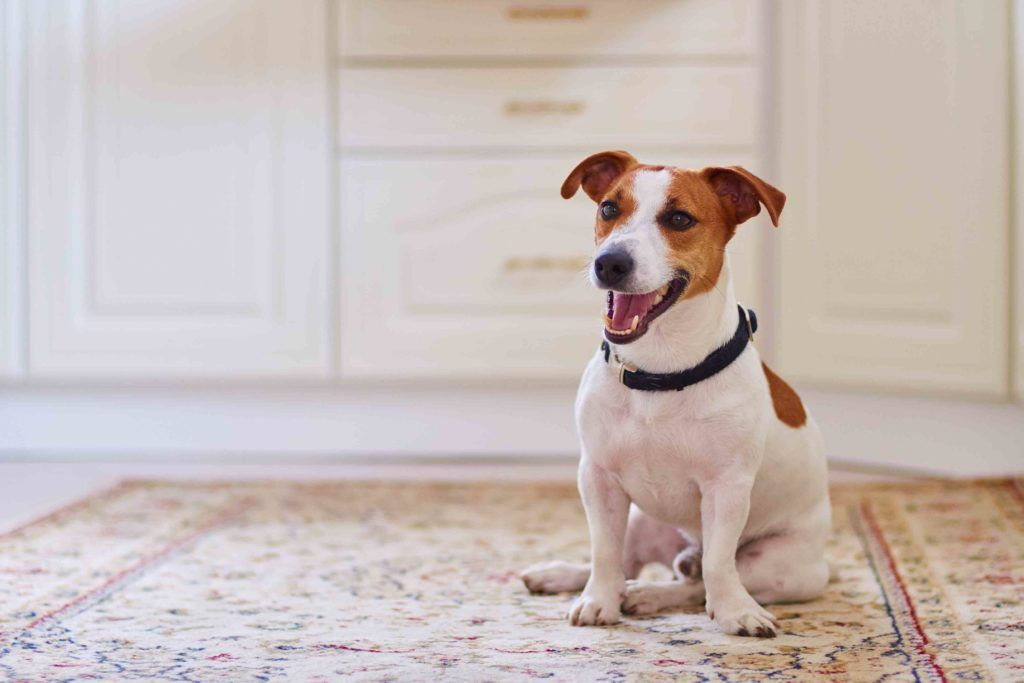 pet-friendly flooring-carpet floor-flooring for pets-indie dog