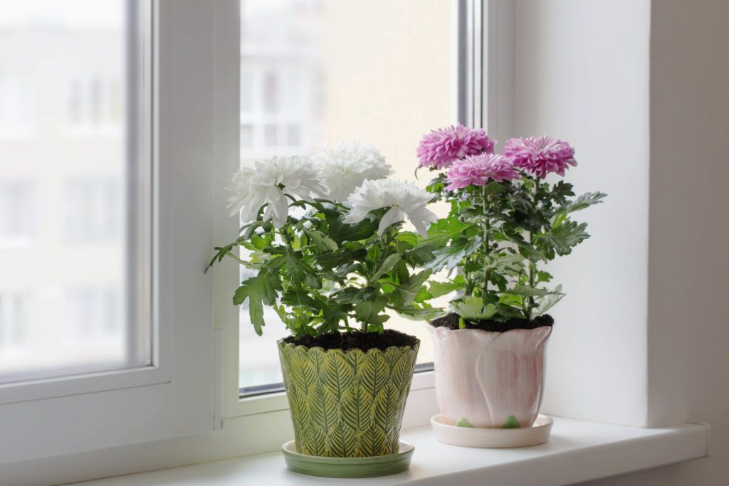 plants that keep bugs away-chrysanthemums-potted plants-window sill