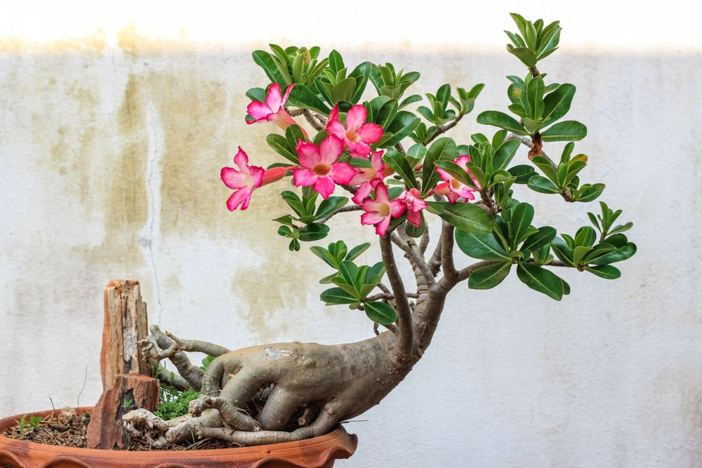 indoor flowering plants-adenium-flower pot-white wall