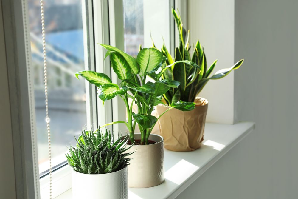 how to take care of dying plants-potted plants-indoor plants-window plants