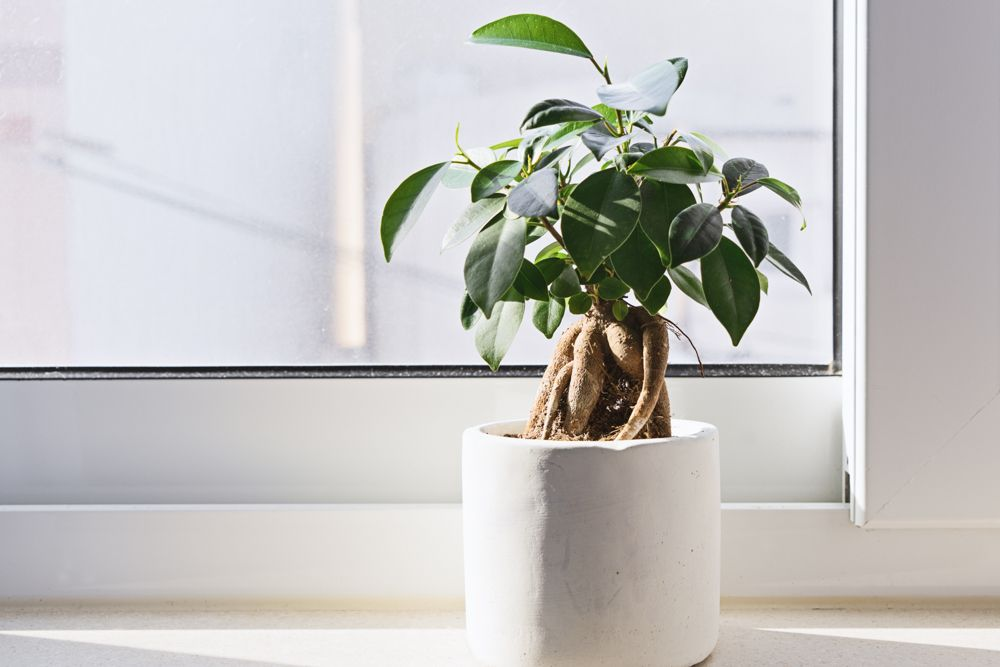 how to take care of dying plants-white potted plant-white window plant