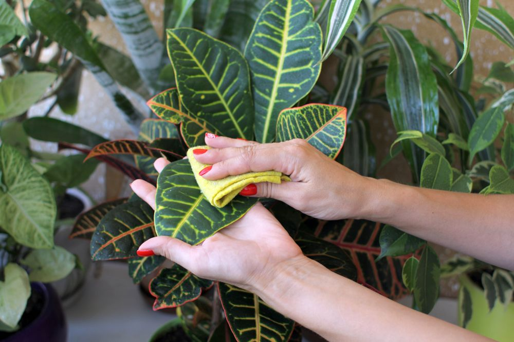 how to take care of dying plants-plants cleaning-wiping plants-green indoor plants