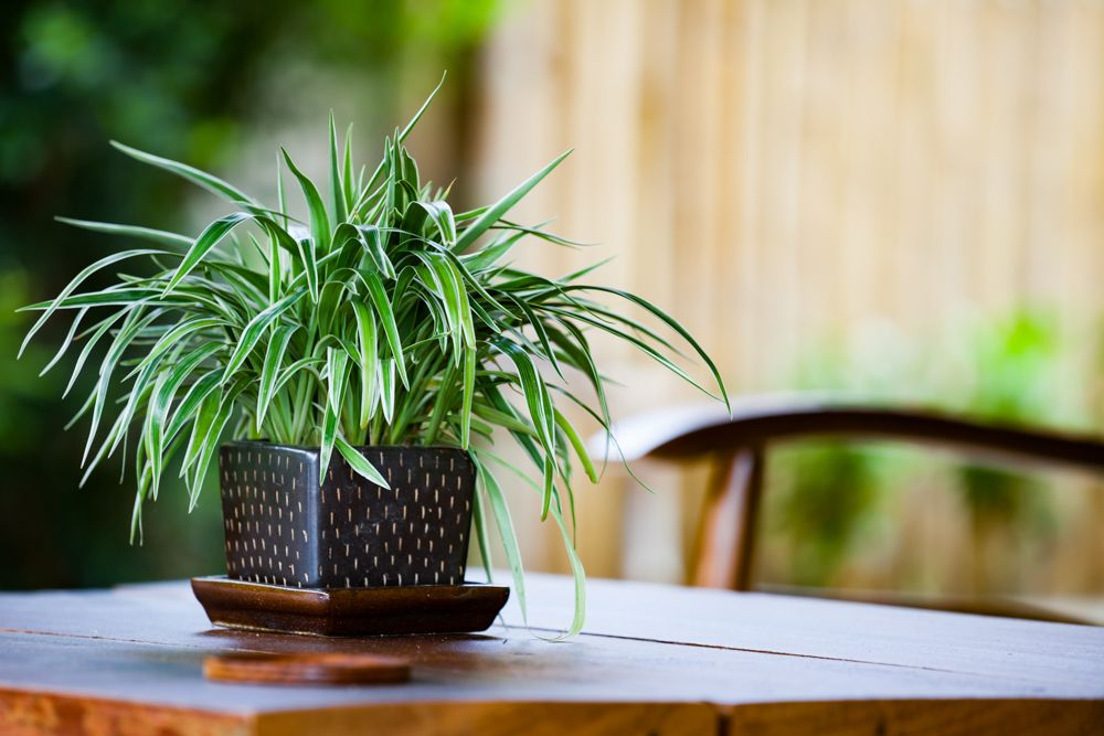air purifying plants-spider plant