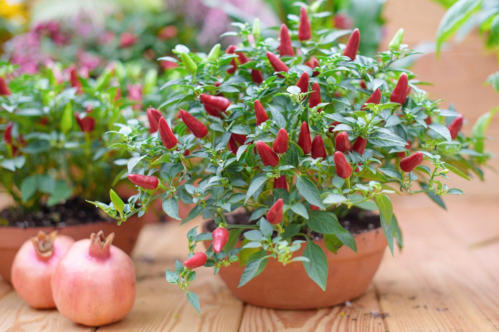 easy-to-grow-vegetables-at-home-india-chilli