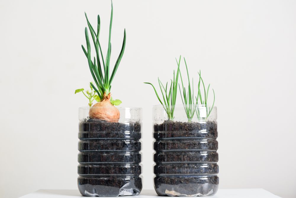 easy-to-grow-vegetables-at-home-india-onion