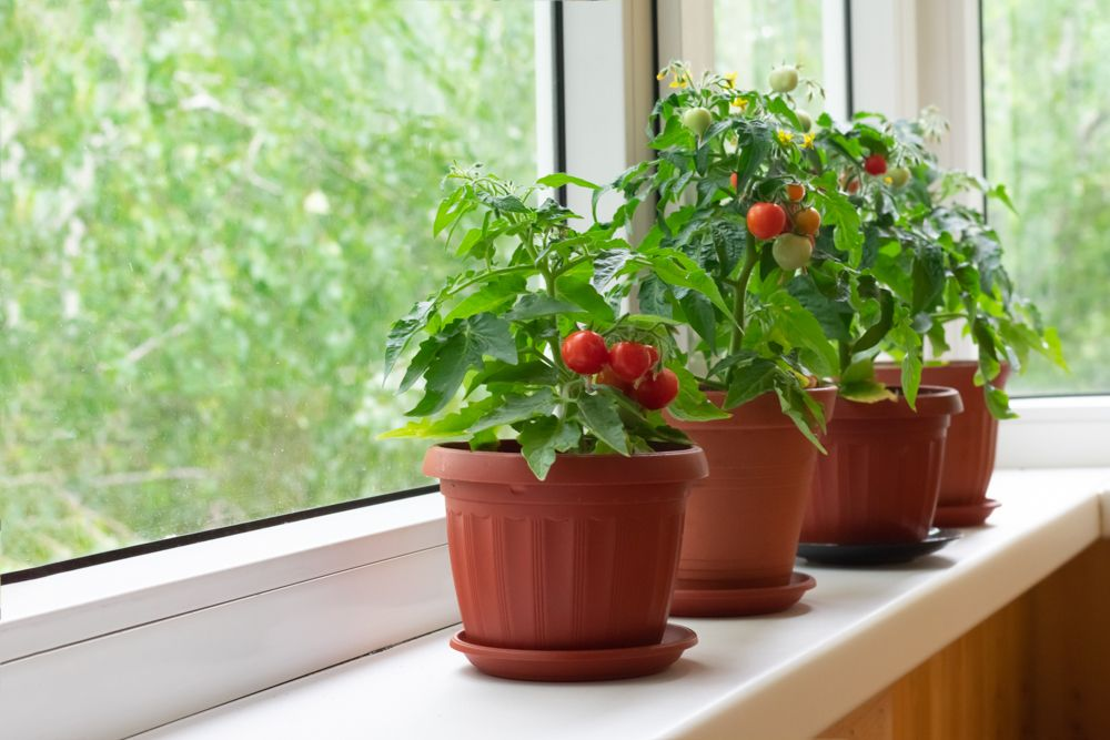 easy-to-grow-vegetables-at-home-india-tomato