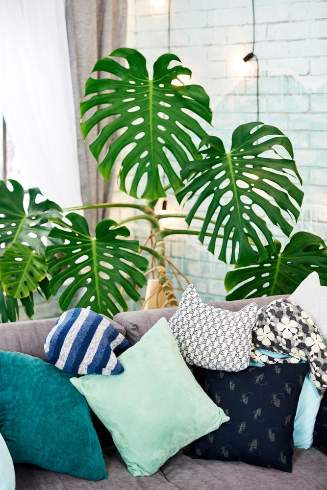 indoor plants india-philodendron