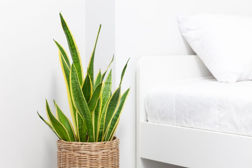 Indoor plants india-snake plant-bedroom