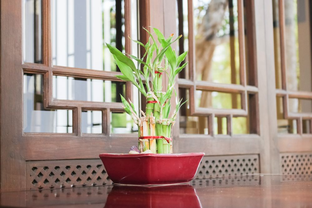 indoor plants india-lucky bamboo-study